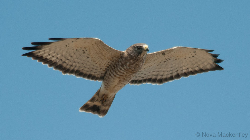 2011 broad winged hawk 22 copyright Nova Mackentley