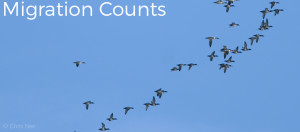 "Image shows a far away photo of migrating Mergansers and Scaup ducks across a clear blue sky at the Whitefish Point Bird Observatory. Image has the text ""Migration Counts"" in white letters in the top left hand corner. Photo copyright Chris Neri."