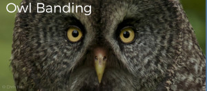 "Image shows a closeup of a Great Grey Owl looking directly at the camera. Image has the text ""Owl Banding"" in white letters. Photo is copyright Skye Haas."