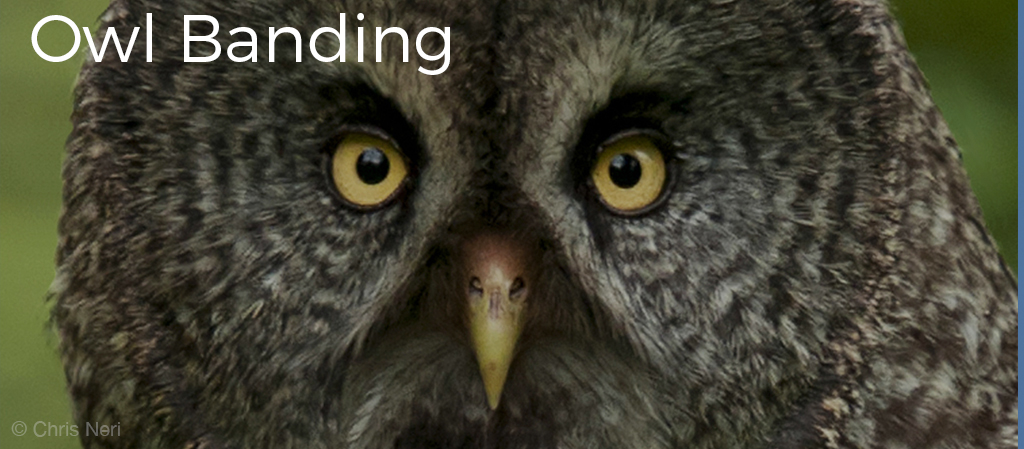 "Image shows a closeup of a Great Grey Owl looking directly at the camera. Image has the text ""Owl Banding"" in white letters. WPBO's Blogs. Photo is copyright Skye Haas."