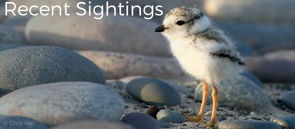 "Image shows a Piping Plover chick standing on a pebble strewn beach. Image has the words ""Recent Sightings"" in white text. WPBO's blogs. Photo copyright Chris Neri."