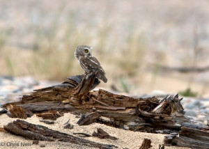Image shows a Northern Saw-whet Owl perching in daylight on a large piece of driftwood on the beach at Whitefish Point. Photo is copyright Chris Neri.