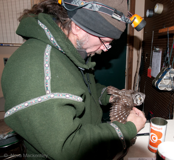2015 chris processing first boreal owl of season copyright WPBO's Research. Nova Mackentley