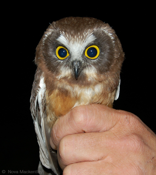 Image shows a juvenile Saw-whet Owl being banded. History of WPBO. Photo copyrightNova Mackentley.