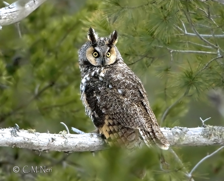 Record Season for Long-eared Owls