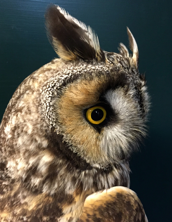 Owl Banding Update May 14