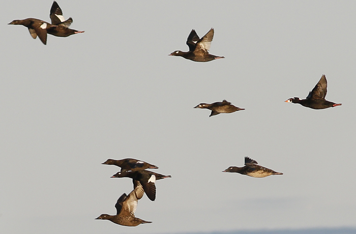 Scoter Flights, Morning and Evening