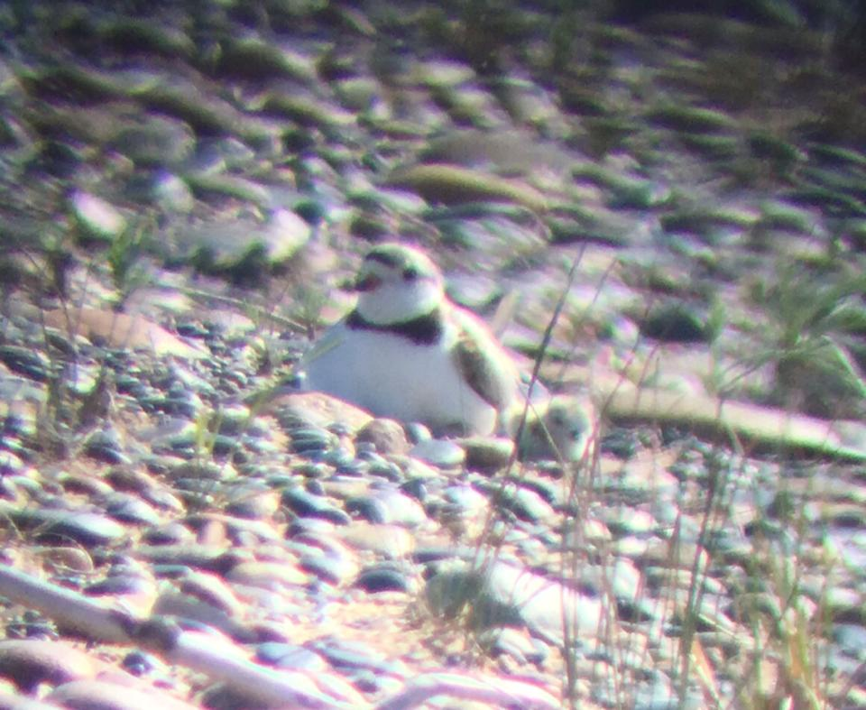 Our Plover Chicks Have Hatched!