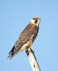 Peregrine Falcon-a rather bold individual who was unafraid of humans