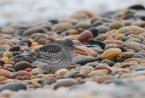 1 of 3 Purple Sandpipers present at the point on 10/17