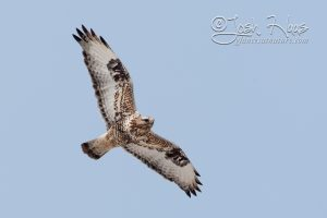 rough-legged-hawk-1-josh-haas