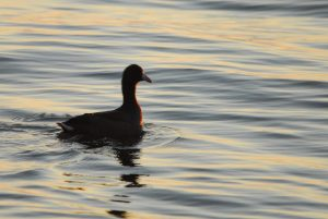 American Coot, a rare bird at Whitefish Point.