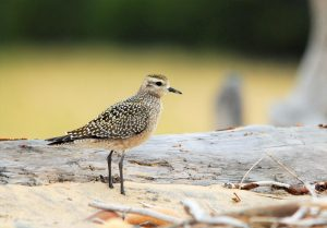 American Golden-Plover posing for a few photographers.