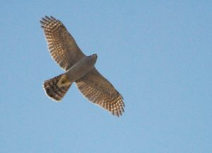 An adult Northern Goshawk that passed over the shack.