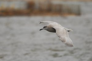 A first cycle Thayer's Gull that spent an afternoon at the pond by the waterbird shack.