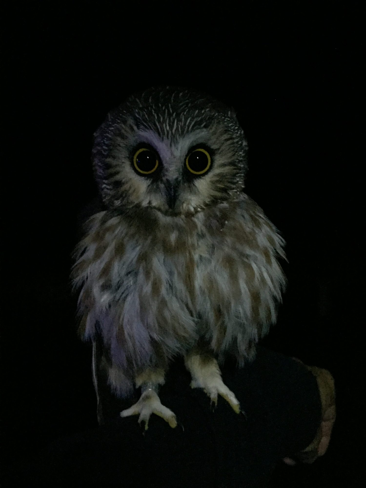 54 Owls In 3 Nights