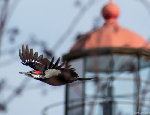 Stymied Migration & a Pileated or Two: 03/27/19 – 04/02/19