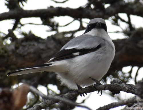 Loggerhead Shrike: a Fourth Record for WPBO